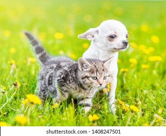 Chihuahua puppy and a kitten walking together on a dandelion field