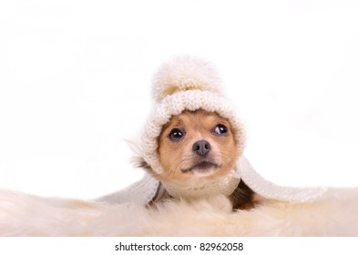 Chihuahua puppy looking up curiously, lying on white fluffy fur, isolated