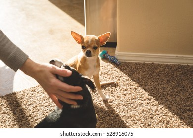 Chihuahua puppy looks at another puppy getting attention from a person