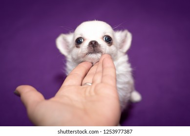 Chihuahua puppy on the palm of your hand. purple background.