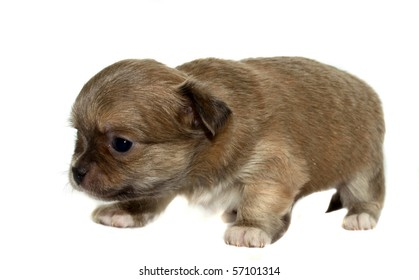 chihuahua puppy on the white