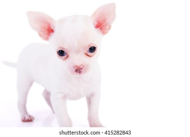 Chihuahua puppy on white background with shadows