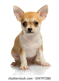 Chihuahua puppy, on white background