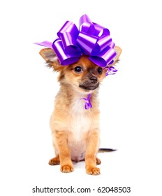 chihuahua puppy with pink bow in front of a white background