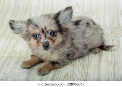 Chihuahua puppy posing in wooden background