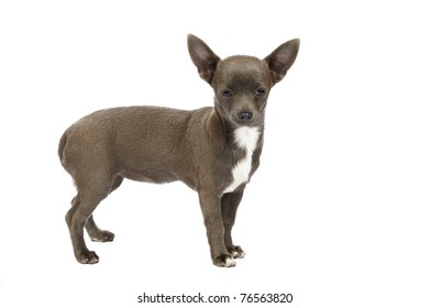Chihuahua puppy of rare grey color in studio in front of a white background