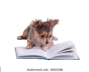 Chihuahua puppy reading a book, isolated on white background