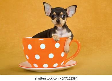 Chihuahua puppy sitting inside orange polka dot cup on orange background