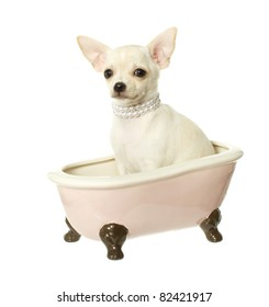 Chihuahua Puppy sitting inside of a pink, white and brown ceramic bath tub wearing pearl necklace waiting for a bath, isolated on white.