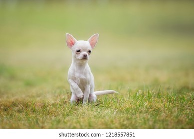 Chihuahua puppy sitting on the lawn