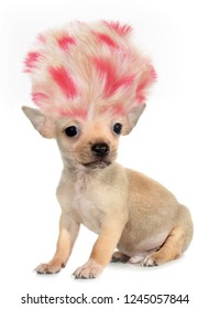 Chihuahua puppy small dog with crazy troll hair funny poster