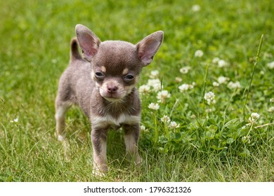 The Chihuahua puppy, the smallest breed of dog, and is named after the Mexican state of Chihuahua. - Shutterstock ID 1796321326