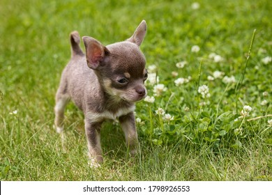 The Chihuahua puppy, the smallest breed of dog, and is named after the Mexican state of Chihuahua. - Shutterstock ID 1798926553