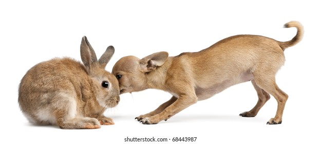 Chihuahua puppy sniffing rabbit in front of white background