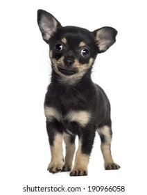 Chihuahua puppy standing (2 months old)