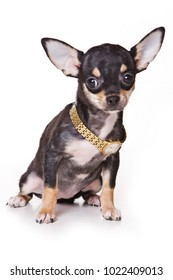 Chihuahua puppy and watch-collar (isolated on white)