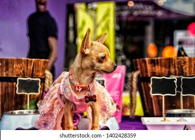Chihuahua puppy wearing a pink costume
