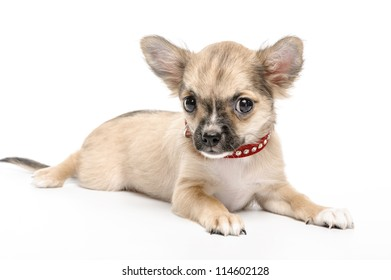 Chihuahua puppy wearing red collar  encrusted with rhinestones lying down on white background looking at camera