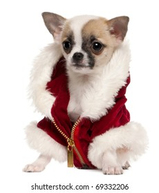Chihuahua puppy wearing Santa coat, 3 months old, sitting in front of white background