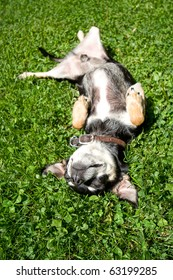 a chihuahua rollling in the grass