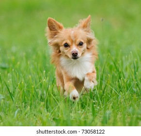 Chihuahua running over the meadow