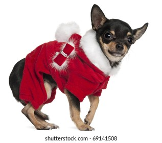 Chihuahua in Santa outfit, 3 years old, standing in front of white background
