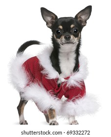 Chihuahua in Santa outfit, 7 months old, standing in front of white background