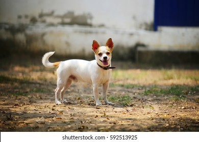 Chihuahua shot hair, Dog in the park, Toy dog, Small dog