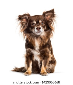 Chihuahua sitting against white background
