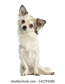 Chihuahua sitting and facing, 1 year old, isolated on white