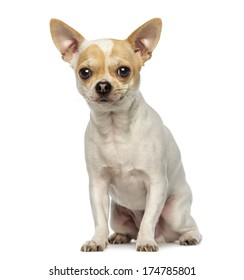 Chihuahua sitting, looking at the camera, isolated on white
