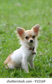 Chihuahua sitting and looking straight at the camera