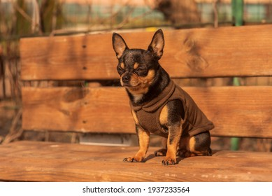 Chihuahua is sitting on the bench. chihuahua has a cheeky look. Black-brown-white color of chihuahua - Shutterstock ID 1937233564