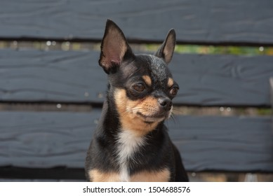 Chihuahua is sitting on the bench. Pretty brown chihuahua dog standing and facing the camera. chihuahua has a cheeky look. The dog walks in the park. Black-brown-white color of chihuahua.