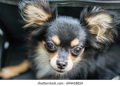 Chihuahua sitting in pocket.