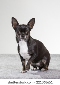 Chihuahua sitting in a studio.