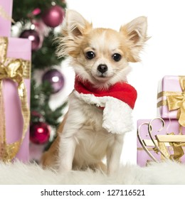 Chihuahua sitting wearing a Christmas scarf in front of Christmas decorations against white background