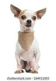 Chihuahua sitting, wearing a leather bandana, 5 years old, isolated on white
