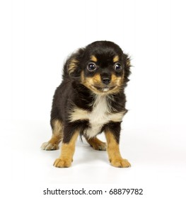 Chihuahua small puppy on the white