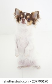 The Chihuahua Standing With Two Legs
