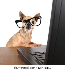 a chihuahua surfing the internet on a laptop