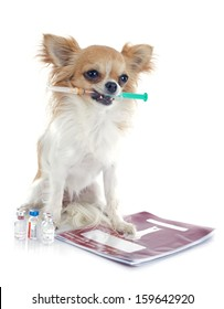 chihuahua and syringe in front of white background