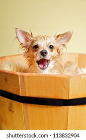 Chihuahua taking bath