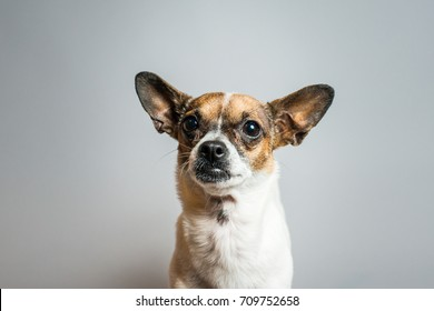 Chihuahua Terrier Close Up