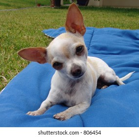 Chihuahua with twisted head
