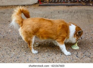 Chihuahua vomitting