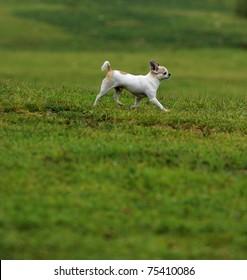 Chihuahua walking on the grassland