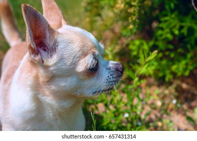 Chihuahua walks on green grass