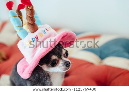 Chihuahua Wearing A Hat In The Shape Of Cute Birthday Cake