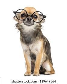 Chihuahua wearing round glasses ,sitting and looking at camera against white background
